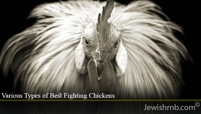 Various Types of Best Fighting Chickens